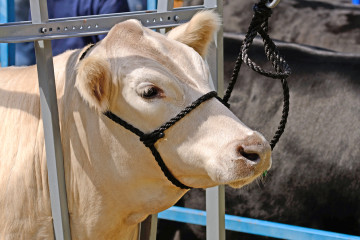 bigstock-Beef-Steers-84623573
