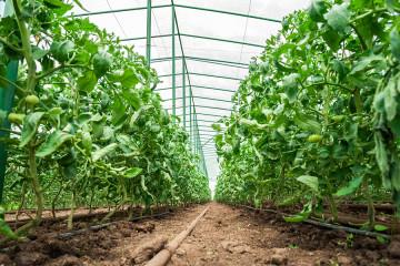 bigstock-Tomato-plants-in-green-house-64716166